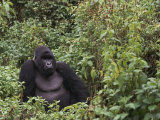 Silverback Mountain Gorilla, Amongst Vegetation, Zaire Prints by Staffan Widstrand