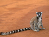 Ring-Tailed Lemur (Lemur Catta) Berenty Reserve, Madagascar Posters by Pete Oxford