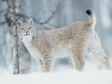 European Lynx in Birch Forest in Snow, Norway Print by Pete Cairns