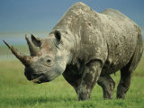 Black Rhino Portrait, Ngorongoro Nr, Tanzania Psters por Staffan Widstrand