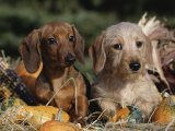 Dachshund Dog Puppies, Smooth Haired and Wire Haired Posters by Lynn M. Stone