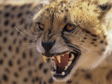Cheetah Snarling (Acinonyx Jubatus) Dewildt Cheetah Research Centre, South Africa Photographic Print by Tony Heald