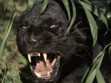 Melanistic (Black Form) Leopard Snarling, Often Called Black Panther Poster by Lynn M. Stone