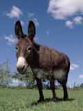 Domestic Donkey, Wisconsin, USA Photographie par Lynn M. Stone