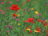 Wild Flowers, Including Poppy and Corncockle, Cultivated for Seed, Netherlands Photo by Niall Benvie