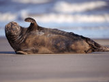 Grey Seal Lying on Beach, UK Photographic Print by Pete Cairns