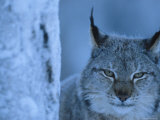 Lynx Portrait, Sweden Photo by Staffan Widstrand