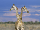 Giraffes (One or Two), Etosha National Park, Namibia Print by Tony Heald