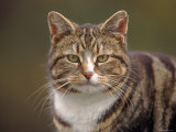 Domestic Cat (Felis Catus), Wester Ross, Scotland Photographic Print by Niall Benvie
