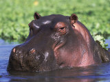 Hippopotamus Head Above Water, Kruger National Park, South Africa Posters by Tony Heald