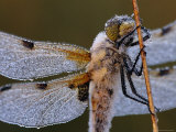 Four Spotted Libellula Dragonfly Covered with Dew, Kalmthoutse Heide, Belgium Photographic Print by Bernard Castelein