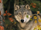 Grey Wolf Portrait, USA Photographic Print by Lynn M. Stone