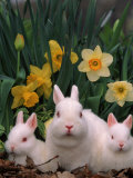 Netherland Dwarf Rabbits, Mother and Babies, Amongst Daffodils Photographic Print by Lynn M. Stone