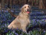 Golden Retriever (Canis Familiaris) Among Bluebells, USA Photographic Print by Lynn M. Stone