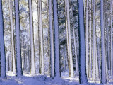 Pine Forest after Snowstorm, Strathspey, Scotland, UK Photographic Print by Pete Cairns