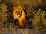 Lion Male, Kalahari Gemsbok, South Africa Fotodruck von Tony Heald
