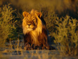 Lion Male, Kalahari Gemsbok, South Africa Posters by Tony Heald