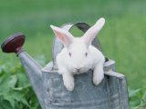 New Zealand Rabbit in Watering Can, USA Photographic Print by Lynn M. Stone