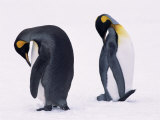 Two King Penguins Preening in Snow (Aptenodytes Patagoni) South Georgia Prints by Lynn M. Stone