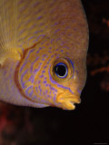 Golden Damselfish Portrait, Indo-Pacific Posters by Jurgen Freund