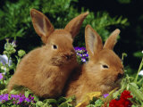 New Zealand Domestic Rabbits and Flowers Photographic Print by Lynn M. Stone