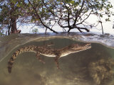 Juvenile Saltwater Crocodile, Amongst Mangroves, Sulawesi, Indonesia Photographic Print by Jurgen Freund
