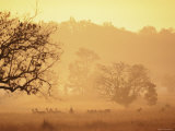 Chital Deer (Axis Axis) at Dawn, Kanha National Park, Madhya Pradesh, India Photographic Print by Pete Oxford