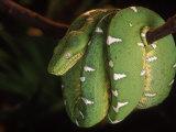 Emerald Tree Boa (Corallus Canina), Ecuador, Amazon, South America Fotografisk tryk af Pete Oxford
