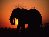African Elephant Dusting Itself at Dusk, Chobe National Park, Botswana, Southern Africa Posters by Tony Heald