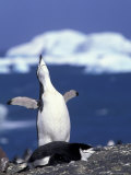 Chinstrap Penguin, Ecstatic Display, South Sandwich Is Photographic Print by Peter Oxford