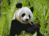 Giant Panda Feeding, Qionglai Mtns, Sichuan, China Print by Lynn M. Stone