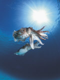 Broadclub Cuttlefish Mating, Sulu-Sulawesi Seas, Indo-Pacific Premium Photographic Print by Jurgen Freund