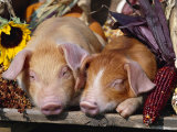 Domestic Piglets Sleeping, USA Photographic Print by Lynn M. Stone