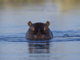 Hippopotamus Submerged in Water, Moremi Wildlife Reserve Bostwana Africa Prints by Tony Heald