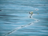 Polar Bear and Cub Cross Crack in Ice, Churchill, Canada Print by Staffan Widstrand