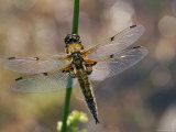 Four-Spotted Libellula Dragonfly Resting, Wings Spread, Scotland, UK Photo by Duncan Mcewan