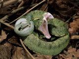 Two Striped Forest Pit Viper Snake with Young, Fangs Open, Amazon Rainforest, Ecuador Print by Pete Oxford