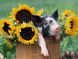 Mixed-Breed Piglet in Basket with Sunflowers, USA Fotografisk tryk af Lynn M. Stone