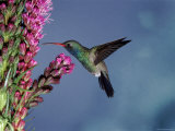 Broad Billed Hummingbird (Cynanthus Latirostris) Az, USA Madera Canyon, Arizona Photographic Print by Mary Mcdonald