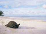 Aldabra Tortoise on Beach, Picard Island, Aldabra, Seychelles Prints by Pete Oxford