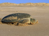 Green Turtle Returns to Sea after Laying Eggs, Ras Al Junayz, Oman Photographic Print by Jurgen Freund