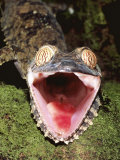 Leaf Tailed Gecko with Open Mouth, Nosy Mangabe Reserve, Madagascar Photographic Print by Pete Oxford