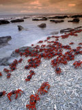 Christmas Island Red Crabs, on the Shore, Indian Ocean, Australia Poster par Jurgen Freund