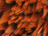 Close-Up of Plumage of Male Pheasant Poster by Niall Benvie