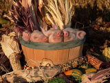 Domestic Piglets Sleeping in a Wooden Barrel, USA Prints by Lynn M. Stone