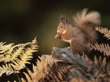 Red Squirrel in Autumn, Scotland, UK Strathspey Premium Photographic Print by Pete Cairns
