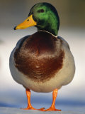Mallard Drake Portrait Standing on Ice, Highlands, Scotland, UK Poster by Pete Cairns