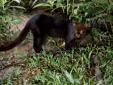 Jaguarundi, Ecuadorian Amazon Ecuador Prints by Peter Oxford