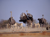 Ostrich Male and Female Courtship Behaviour (Struthio Camelus) Etosha National Park, Namibia Posters by Tony Heald