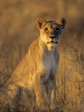Lioness at Sunrise (Panthera Leo) Kalahari Gemsbok National Park South Africa Photographic Print by Tony Heald